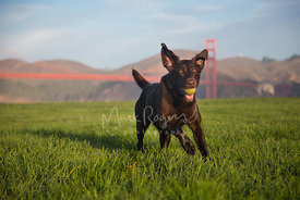 Chocolate Labrador Running with Ball in Mouth