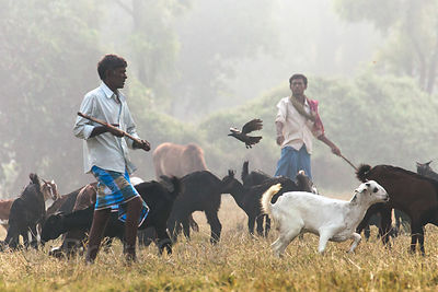 A man shoes away birds as he herds goats on the maidan (central park) in Kolkata, India. Maidan is a large open public space in the city center,