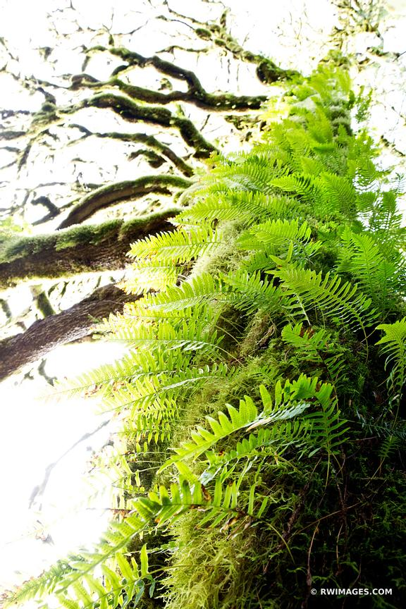 MOSS AND FERN COVERED TREES OLYMPIC NATIONAL PARK WASHINGTON