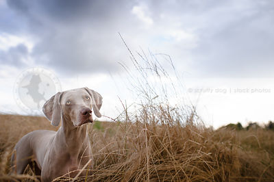 curious grey pointer staring at camera from dried grasses