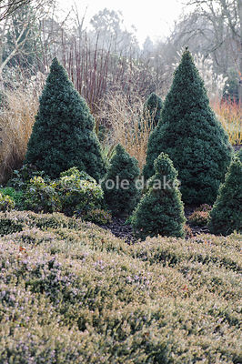 Picea glauca 'Haal' = Alberta Blue with smaller Picea glauca 'Arneson's Blue Variegated' surrounded by heathers. Sir Harold Hillier Gardens, Ampfield, Romsey, Hants, UK
