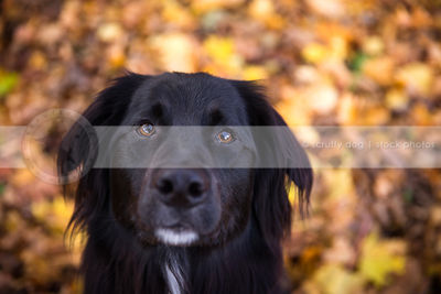 closeup of serious black dog looking upward from autumn leaves