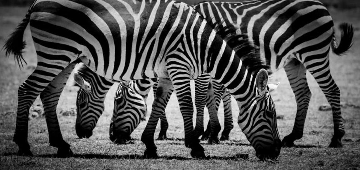 6851-Zebras_heads_and_legs_Kenya_2015_Laurent_Baheux