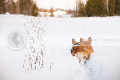 two corgis from behind running away in deep snow in winter field