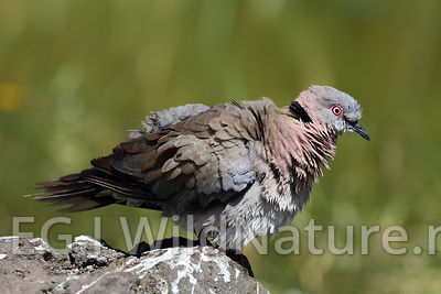Red-eyed dove/Rødøyedue - Ethiopia