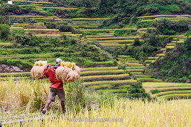 harvest season in rice field