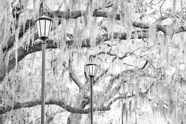 SPANISH MOSS STREETLAMPS SAVANNAH GEORGIA BLACK AND WHITE