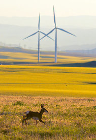 Baby_antelope_wind_towers