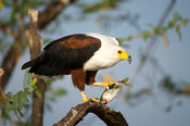 African Fish Eagle with fish (Haliaeetus vocifer) , Akagera National Park, Rwanda