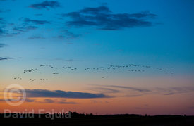 flock of Canada geese (Branta canadensis) in flight at Sunset