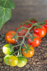 red and green cherry tomatoes on vine against wood with ivy trailing in background