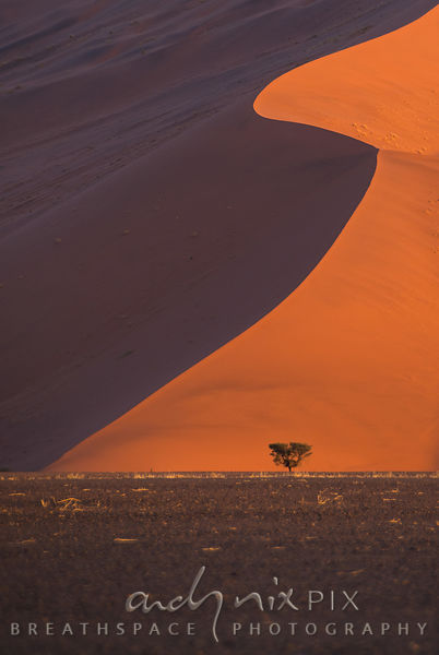 A small camelthorn tree below a big red sand dune