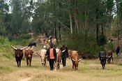 Rwandan herdsmen leading local horned cattle.