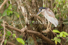 boat_billed_heron_brush-3-Edit