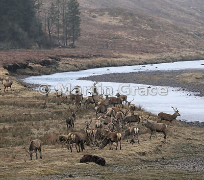 Herd of Red Deer stags (Cervus elaphus), April 3, Badenoch & Strathspey, Scottish Highlands