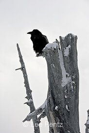 Common Raven (Corvus corax) perched on a dead tree on Hurricane Ridge, Olympic National Park, Olympic Peninsula, Washington, USA, March, 2009_WA_8162