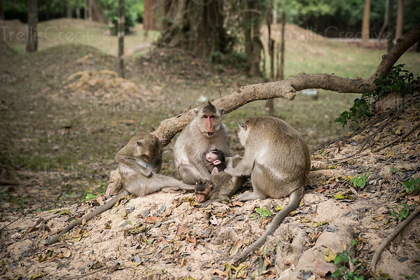 A baby monkey nurses on mother in the wild