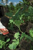 African woman weeding crop of Kale in village garden Uganda Africa
