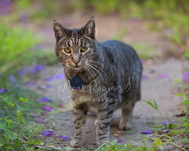 Tabby cat outside on stone in grass