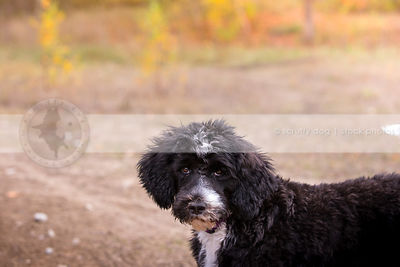 grumpy curly haired puppy standing in field with minimal background