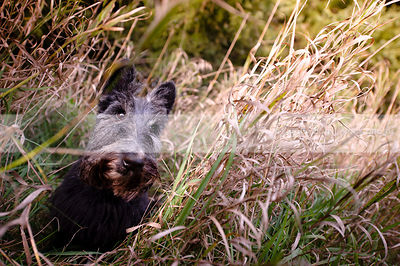 bearded old black scottie dog hiding in dried grasses
