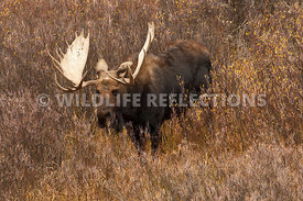 moose_willow_patch_1