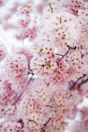 cherryblossoms_032212_273