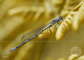 Immature Male Azure Damselfly::