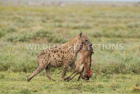 hyena_baby_wildebeest_kill_02162015-15-Edit