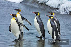 King penguin (aptenodytes patagonicus) group going on land - Antarctica, South Georgia, Gold Harbour - digital