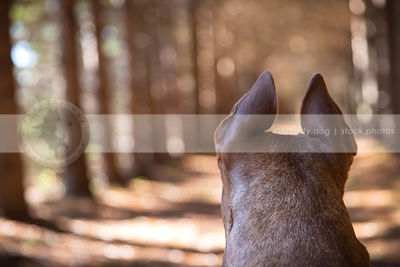 creative stock photograph of brindle dogs ears from behind in forest