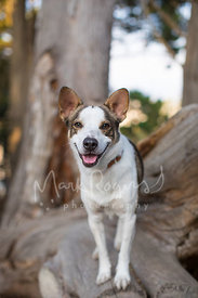 Australian Shepherd Cattle Dog Mix Standing on Fallen Tree