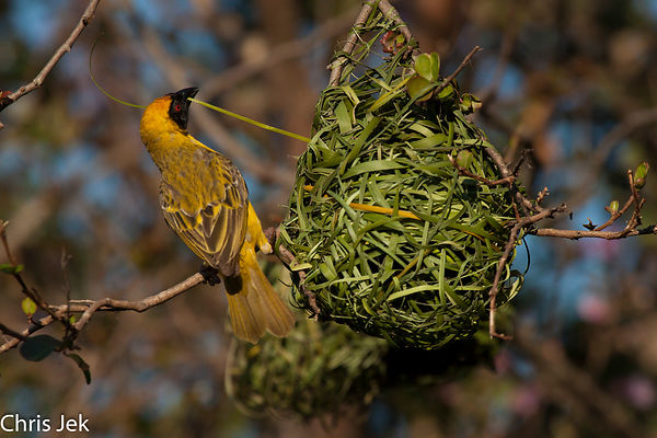 Incredible weaver bird photos