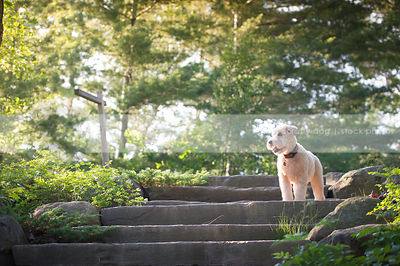 blond dog looking away standing on stone steps in park