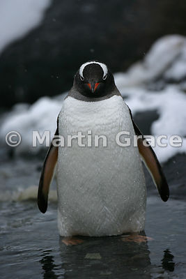 Gentoo Penguin (Pygoscelis papua) standing in water, Petermann Island, Antarctic Peninsula