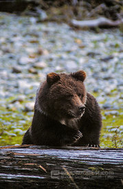 Young Bear