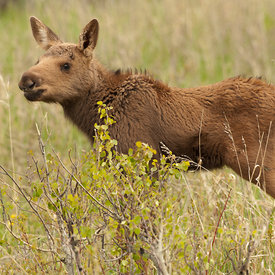 Calf Moose wildlife photos