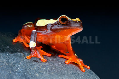 Clown tree frog  (Dendropsophus leucophyllatus) photos