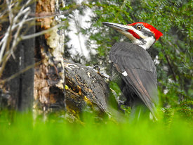 Pileated_Woodpecker_April_29_16_nice_for_7800_large_printed