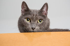 Close Up of Grey Cat with Green Eyes Peeking Over Ledge