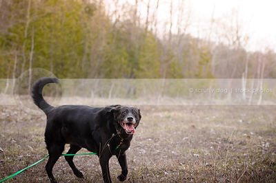 goofy black senior lab walking in open field