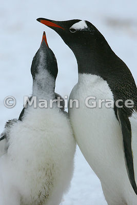 Gentoo Penguin chick (Pygoscelis papua) soliciting food from its parent, Petermann Island, Antarctic Peninsula