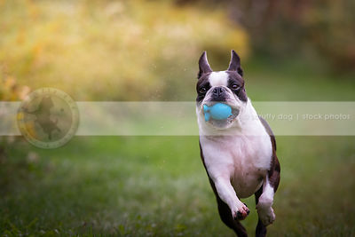 small boston terrier dog fetching bringing ball in park