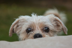 Scruffy Tan Terrier Dog Peeking Over Edge