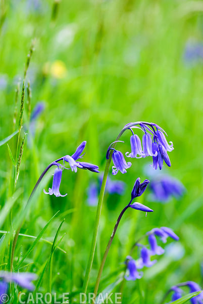Bluebells on a grassy bank. Minterne, Minterne Magna, Dorchester, Dorset, DT2 7AU, UK