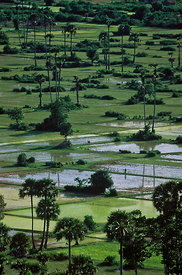 Ricefields Angkor