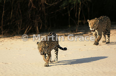 'Hero' follows 'Hunter' further down the beach but drops back because he does not like tourist boats, Three Brothers River, Northern Pantanal, Mato Grosso, Brazil. Image 25 of 62; elapsed time 38mins