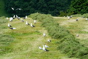 Seagulls on mown meadow, picking at worms and grubs disturbed by tractor and machinery. Cumbria, UK