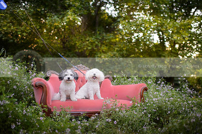 two little fluffy dogs on antique pink sette in meadow of flowers