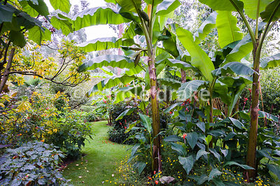 Large leaved bananas form a woodland like effect, underplanted with Canna indica, bidens, dahlias, salvias and parrot's beaks.